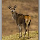 Doe a Red Deer. by Jessica Smith