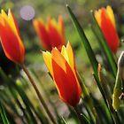 «Día de los tulipanes de viento» de WesternExposure