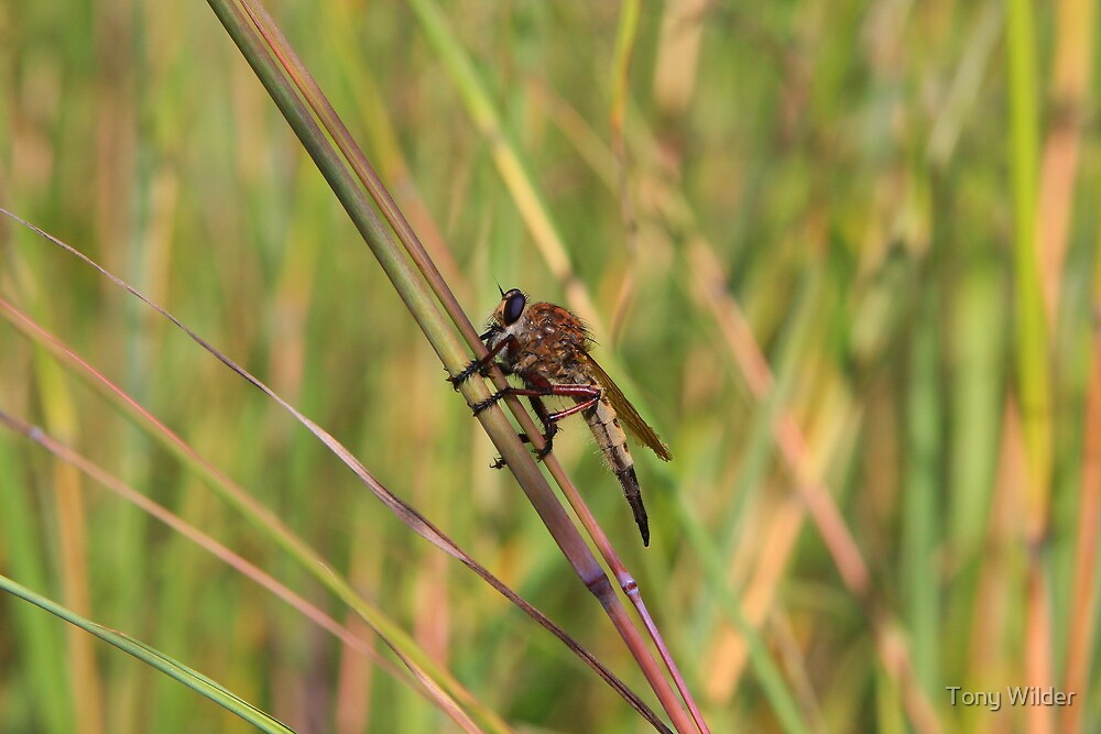 Bearded Robber Fly - Little Miami White Water by Tony Wilder