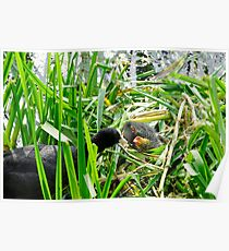 Adult Coot Feeding a Young Chick Poster