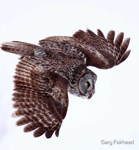 Descent / Great Grey Owl by Gary Fairhead