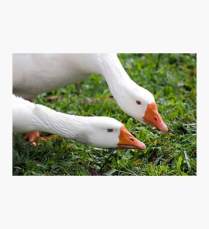 What's with that camera? - geese at Warrina Lakes Photographic Print