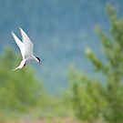 Arctic Tern by Tracy Riddell