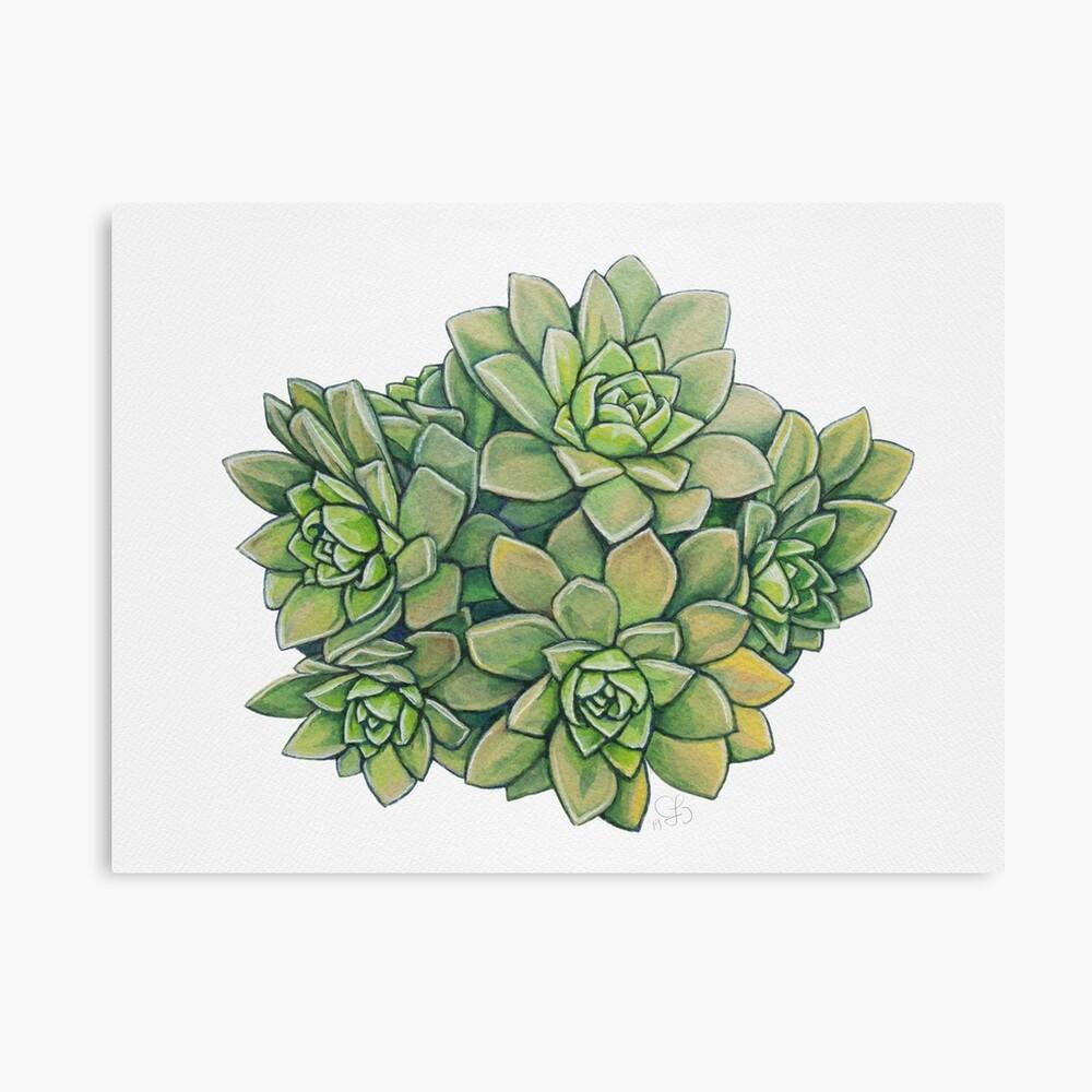 Succulent Illustration - Tree houseleek Canvas Print