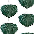 Licuala Cordata, Fan Palm  by Pippasprintshop