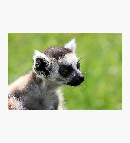 Baby Lemur Photographic Print