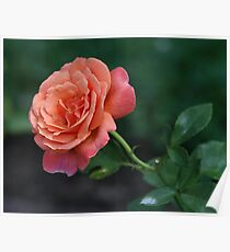 Peach of a Rose Poster