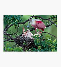 Mother Roseate and her chicks Photographic Print
