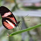Red Postman - Heliconius erato by Lepidoptera