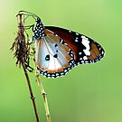 Butterfly on Perch by Amran Noordin