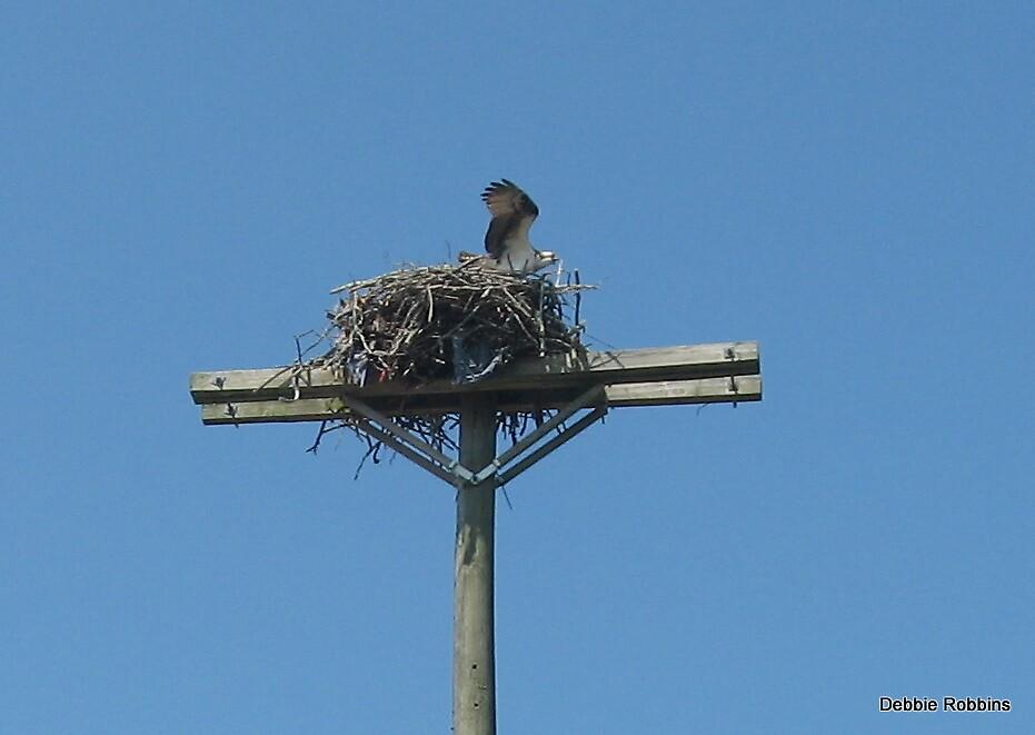 Osprey Nest Atop Telephone Pole by Debbie Robbins