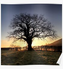Oak Tree Glastonbury Tor Poster