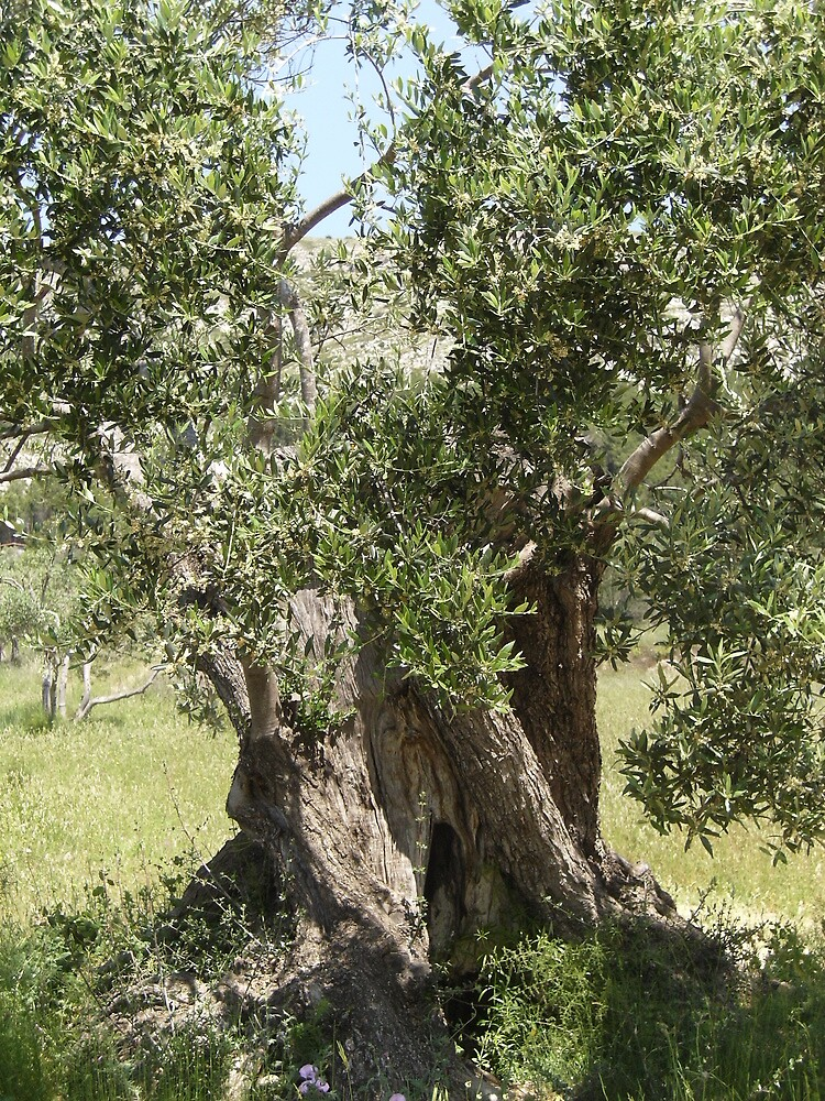 olive tree a living history by bacci