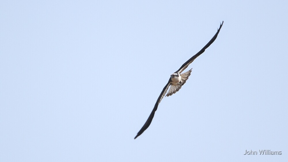 Fischadler von John Williams
