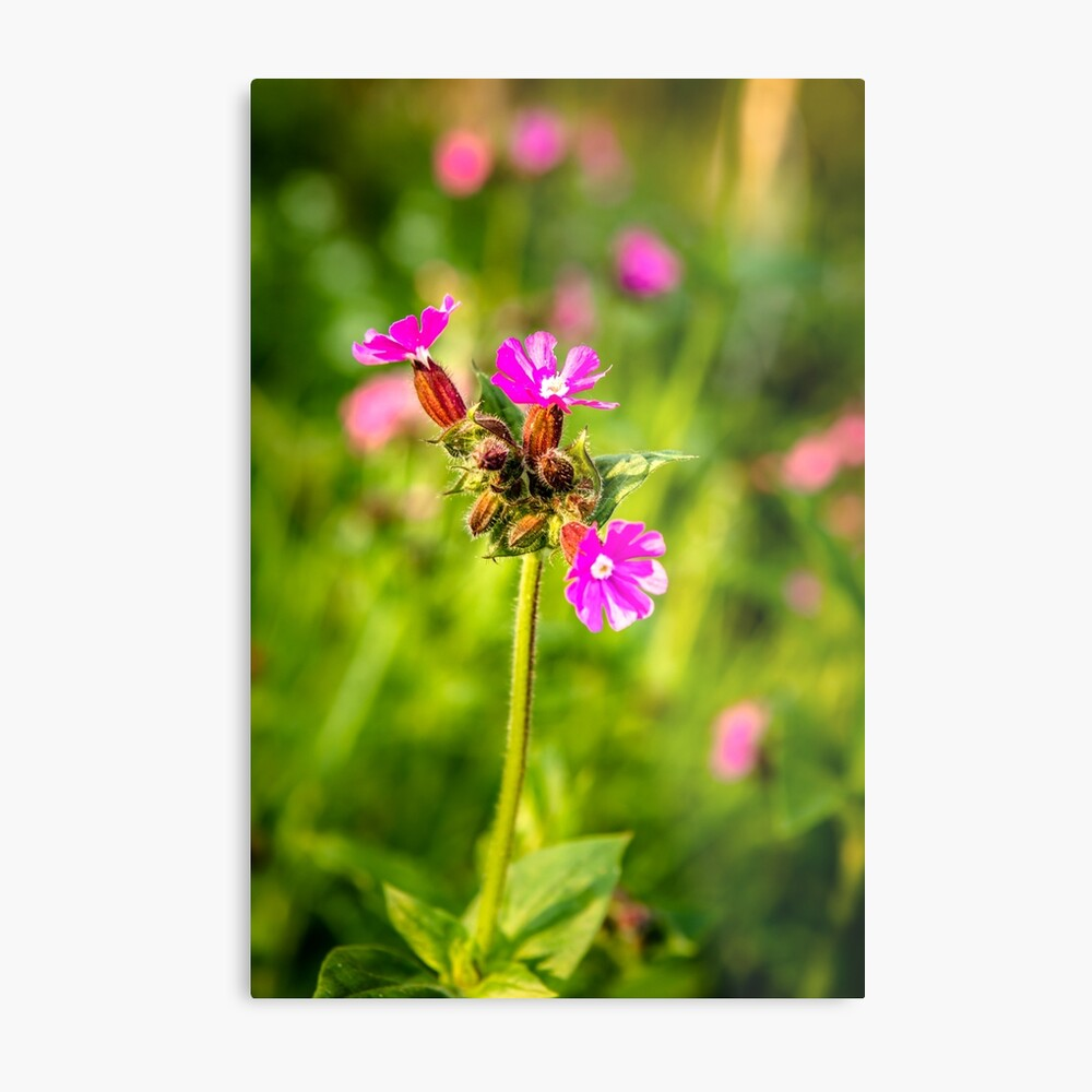 Beautiful Pink and Vibrant Ancient Woodland with Red Catchfly Metal Print
