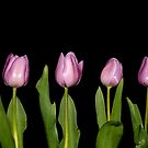 Pretty Pink Tulips in a Row by Shelly Still