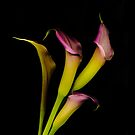 Calla Lily 1a by tinymystic