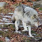 Timber Wolf auf der Suche von vette