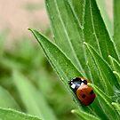 A Ladybug Sleeps by Douglas E.  Welch