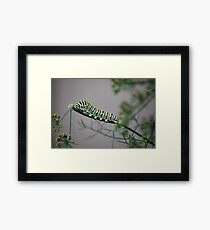 Swallowtail Caterpillar in Kansas Framed Print