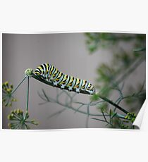 Swallowtail Caterpillar in Kansas Poster