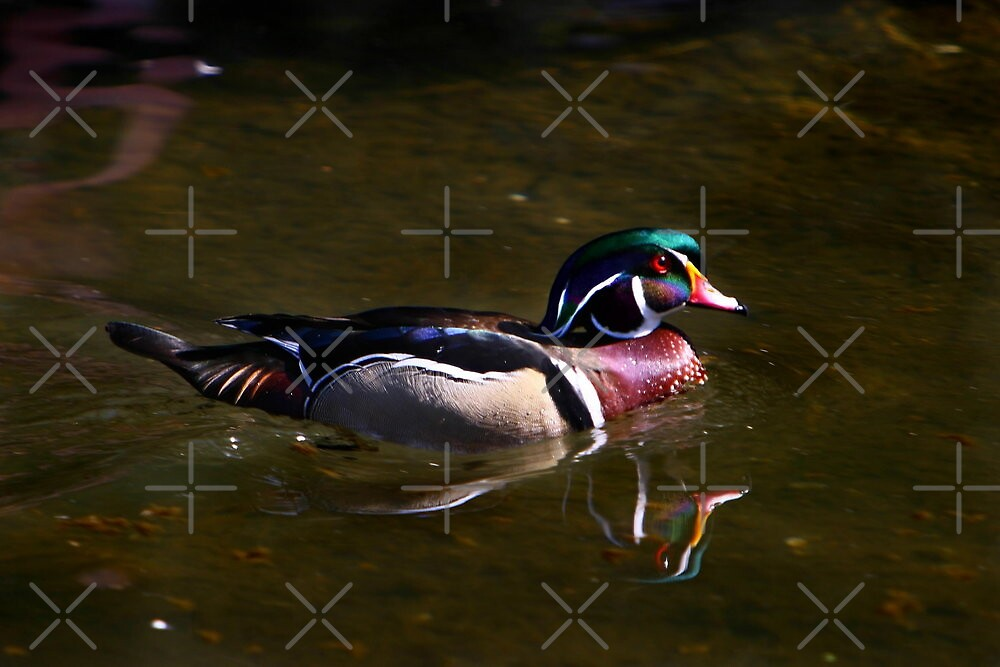 Wood Duck Reflected by Lisa G. Putman