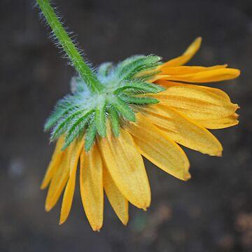 Dangling Daisy by Shutterbug-csg
