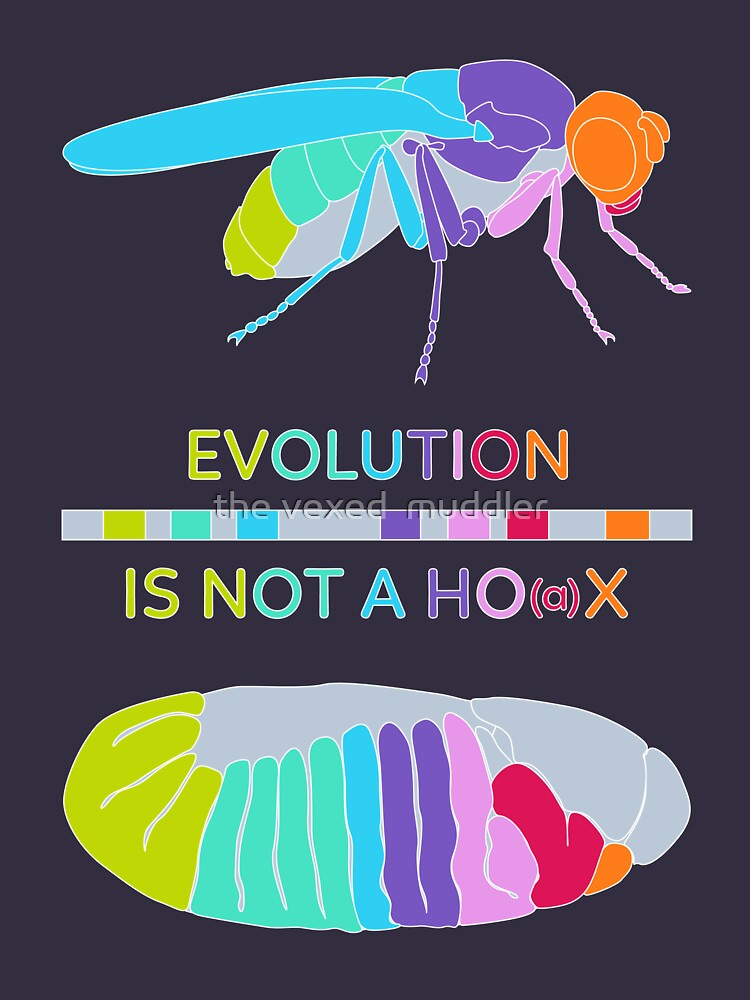 Drosophila Hox Genes - Evolution is not a Ho(a)x by thevexedmuddler
