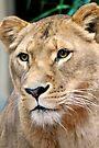 Lioness by Extraordinary Light