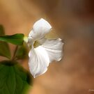 Forest Trillium by Kathy Weaver