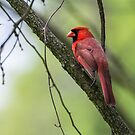 Northern Male Cardinal by EthanQuin