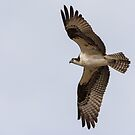 Osprey Wings Out by EthanQuin