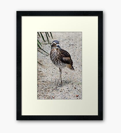 Cross your Legs -  curlew in Cairns Framed Print