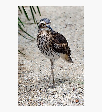 Cross your Legs -  curlew in Cairns Photographic Print