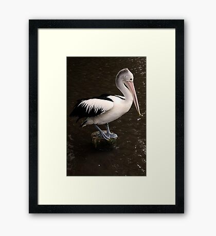 Balancing Act - pelican in Cairns Framed Print