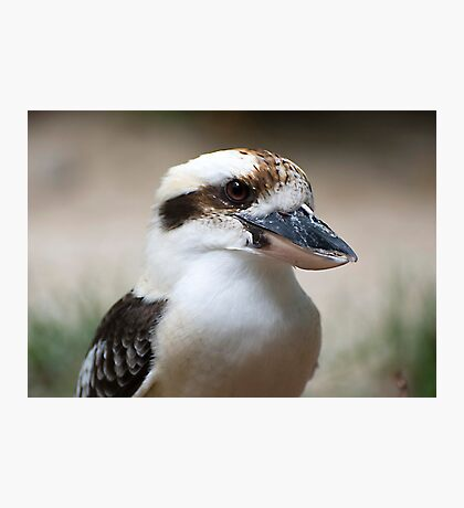Kookaburra portrait Photographic Print
