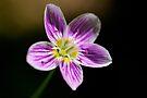 Spring Beauty by Stephen Beattie