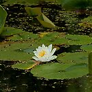Water Lily by Mike Oxley