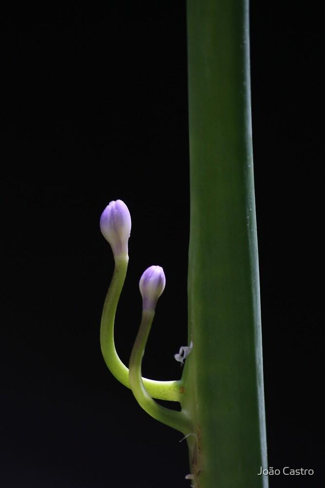 Purple Agapanthus buds 6724 by João Castro