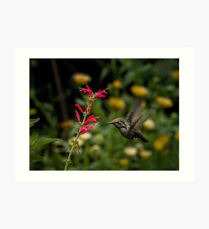 Annas Kolibri und Penstemon Kunstdruck