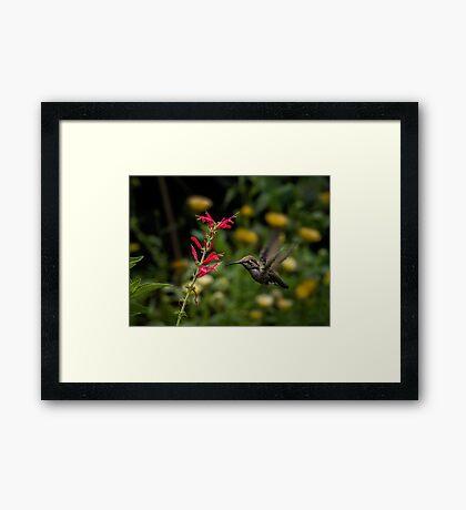 Annas Kolibri und Penstemon Gerahmtes Wandbild