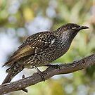 Little Wattlebird on the the Branch by John Sharp