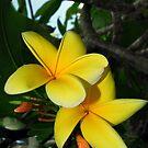Yellow Plumeria Flower by Jason Pepe