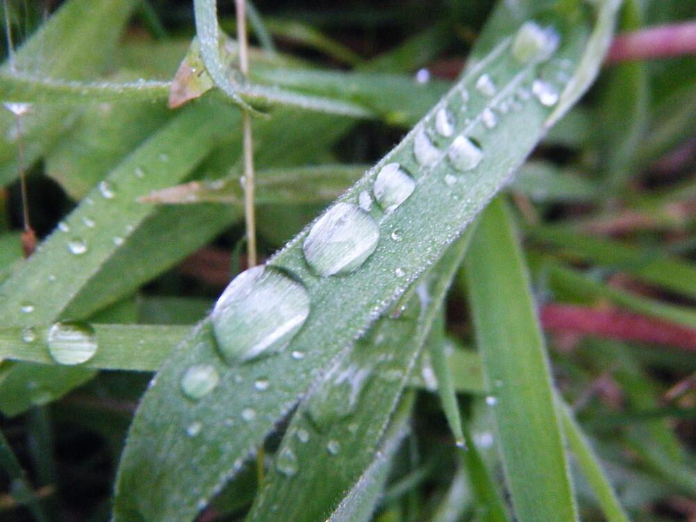 Morning Dew by wyvernsrose