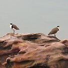 Pair of Perched Plovers by Michael John