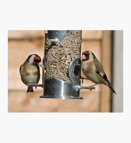 Goldfinch (British) Photographic Print