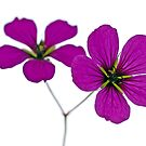 Close-up of two Geranium flowers by friendlydragon