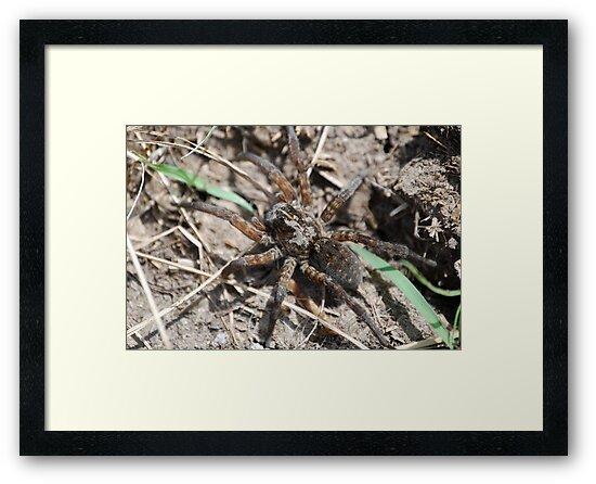 Wolf Spider in Kansas by Suz Garten