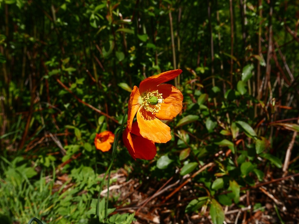 Welsh Poppy (Meconopsis cambrica) by IOMWildFlowers