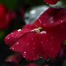 Impatiens by Michael Kelly